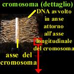 le anse dei cromosomi