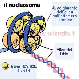il nucleosoma